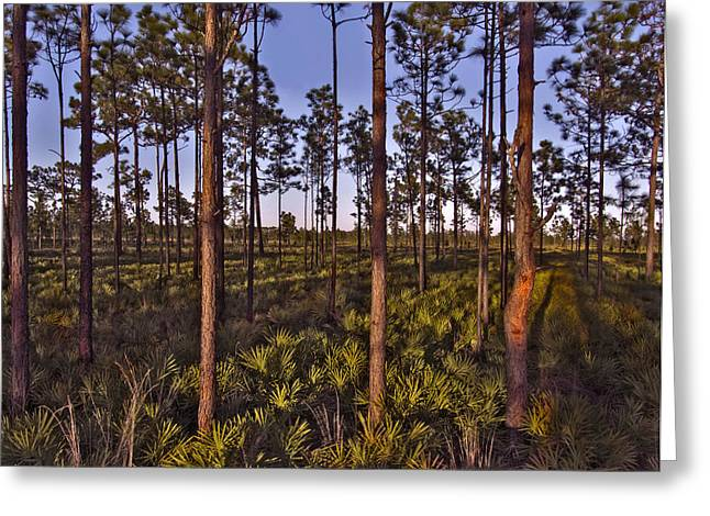 Chris Kusik Greeting Cards - Pine Scrub. Three Lakes W.M.A. Greeting Card by Chris  Kusik