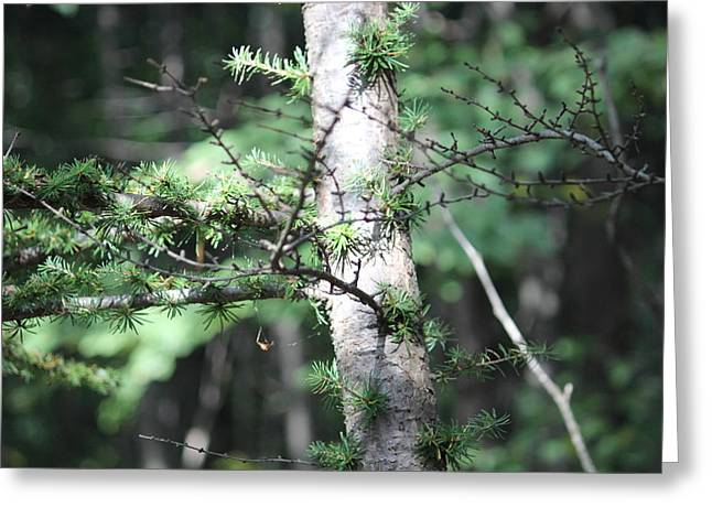 Jahred Allen Photography Greeting Cards - Pine Tree Greeting Card by Jahred Allen
