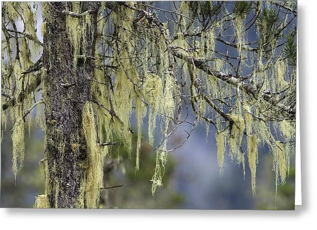Photos Of Lichen Greeting Cards - Pine Trees And Bearded Lichen Mitkof Isl Greeting Card by Konrad Wothe