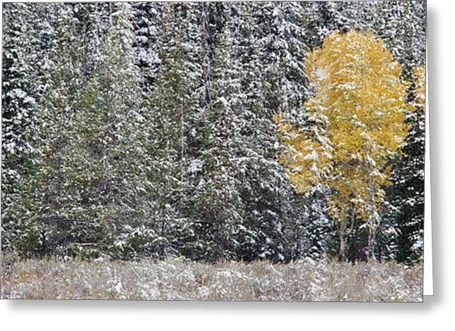 Snow-covered Landscape Photographs Greeting Cards - Pine Trees In A Forest, Grand Teton Greeting Card by Panoramic Images