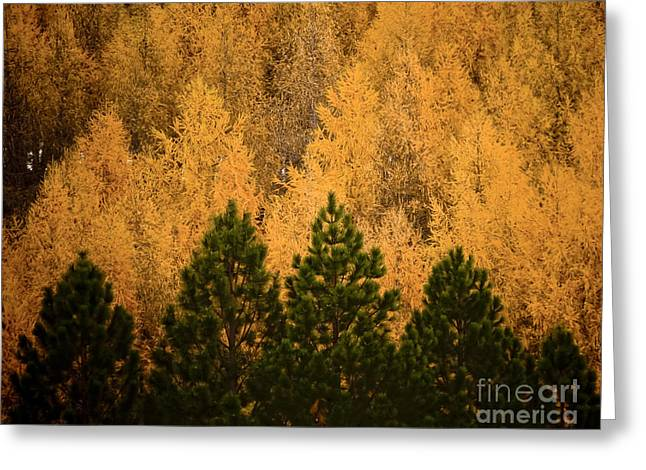 Pine Trees Greeting Card by Tim Hester