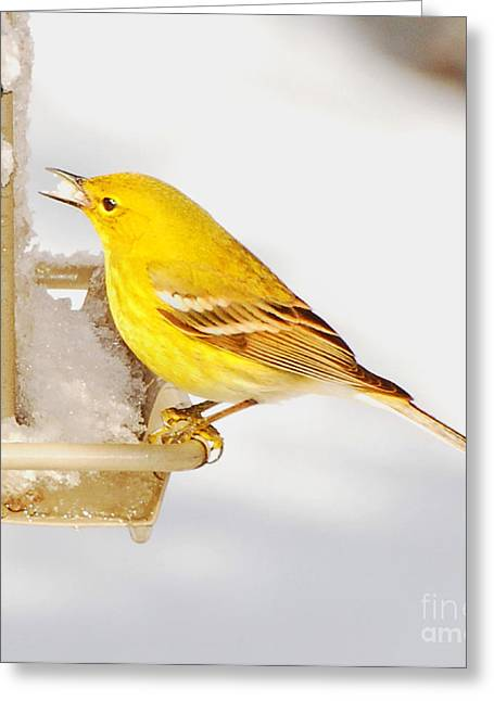 Sea Lions Greeting Cards - Pine Warbler Greeting Card by Stuart Mcdaniel