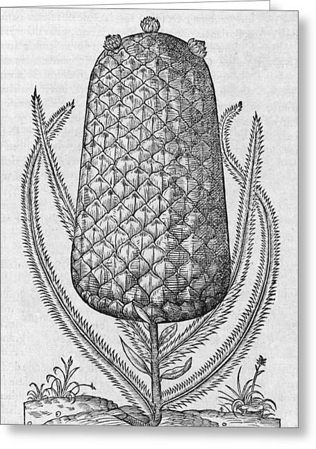 Nana Greeting Cards - Pineapple, 16th century Greeting Card by Science Photo Library