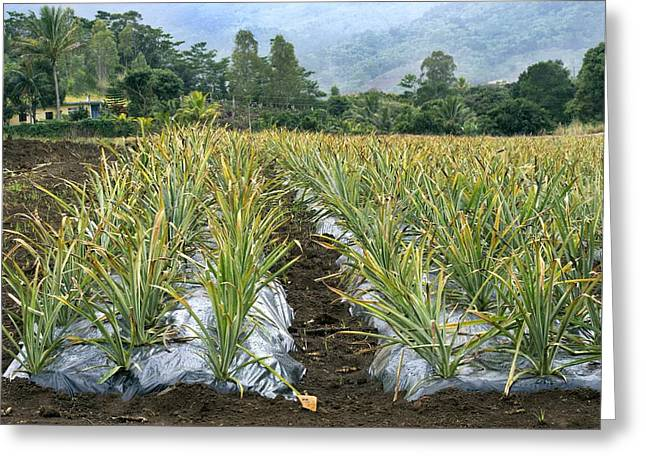 Bromeliad Greeting Cards - Pineapple farm, Mauritius Greeting Card by Science Photo Library