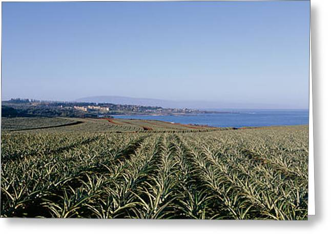 Cultivation Greeting Cards - Pineapple Field On A Landscape Greeting Card by Panoramic Images