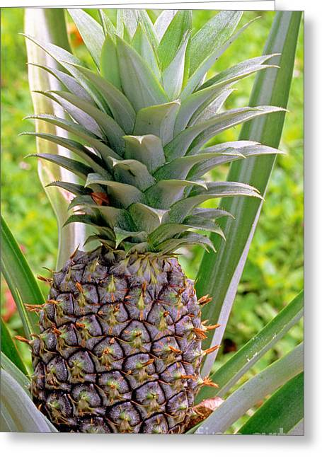 Ananas Greeting Cards - Pineapple Plant Greeting Card by Millard H. Sharp