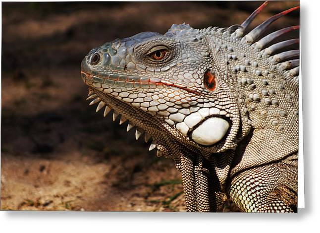 Saint-martin Greeting Cards - Pinel Island Iguana Greeting Card by Toby McGuire