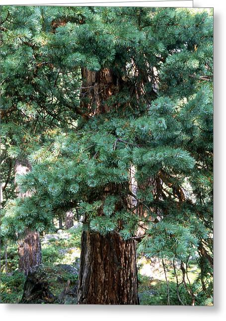 Reserve Greeting Cards - Pines Greeting Card by Anonymous