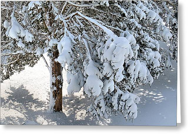 Snowstorm Prints Greeting Cards - Pines Weighted Down by Snow Greeting Card by Janice Drew