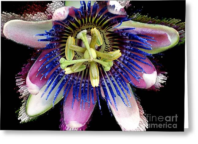 Aphrodisiac Greeting Cards - Pink and Blue Passion Flower Greeting Card by Gena Weiser