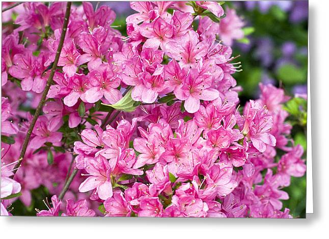 Rhododendron Greeting Cards - Pink And Blue Rhododendron Greeting Card by Frank Tschakert