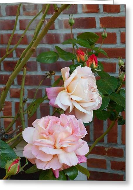 Roze Greeting Cards - Pink and Cream Roses Greeting Card by Carolyn Quinn
