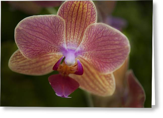 Orchid Show Greeting Cards - Pink and Orange Orchid Greeting Card by Clifford Pugliese