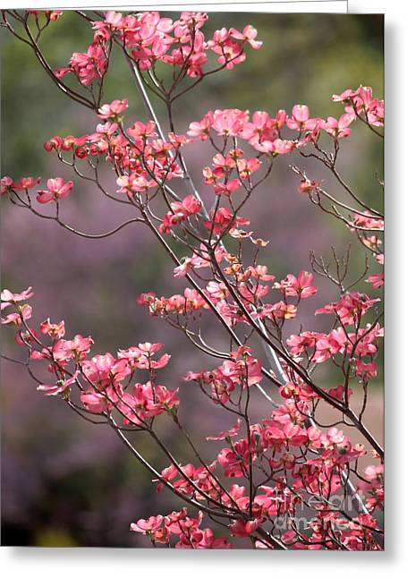 Sunlight On Flowers Greeting Cards - Pink and Purple Spring Trees Greeting Card by Carol Groenen