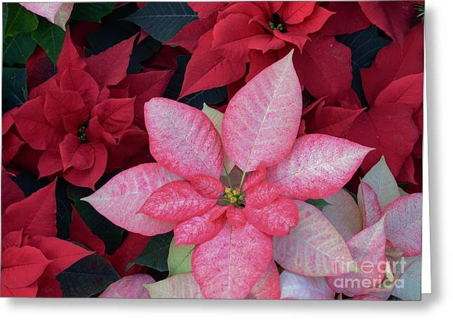 Struckle Greeting Cards - Pink And Red Greeting Card by Kathleen Struckle