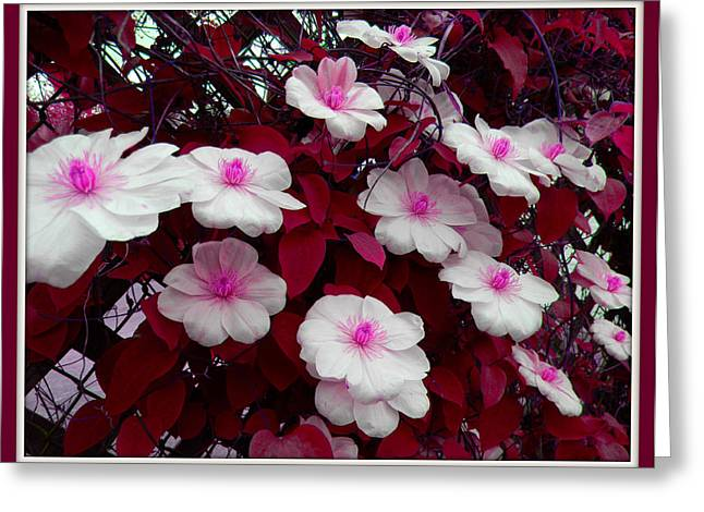 Flowers On A Fence Greeting Cards - Pink And White Clematis  Greeting Card by Art Speakman