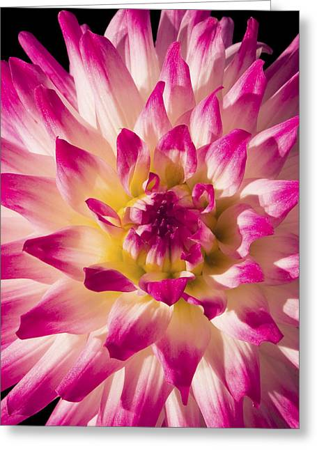 Pink Blossoms Greeting Cards - Pink and White Dahlia Flower Greeting Card by Keith Webber Jr