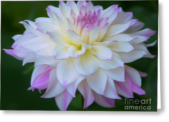 Pink And White Dahlia Greeting Card by Kathleen Struckle
