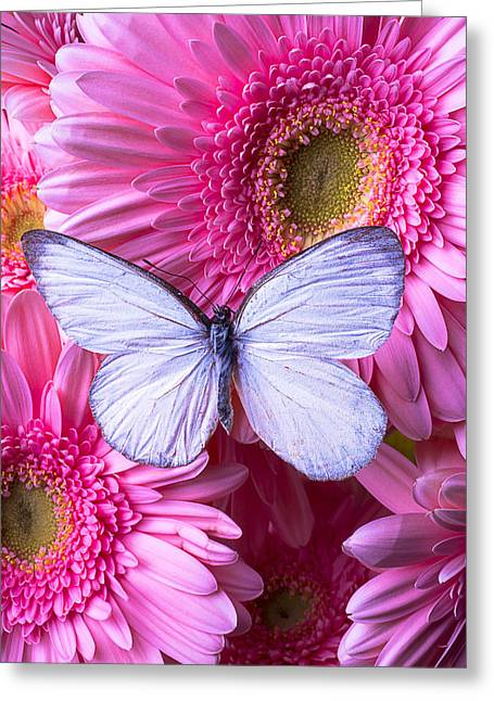 Pink Chrysanthemums Greeting Cards - Pink and White Greeting Card by Garry Gay
