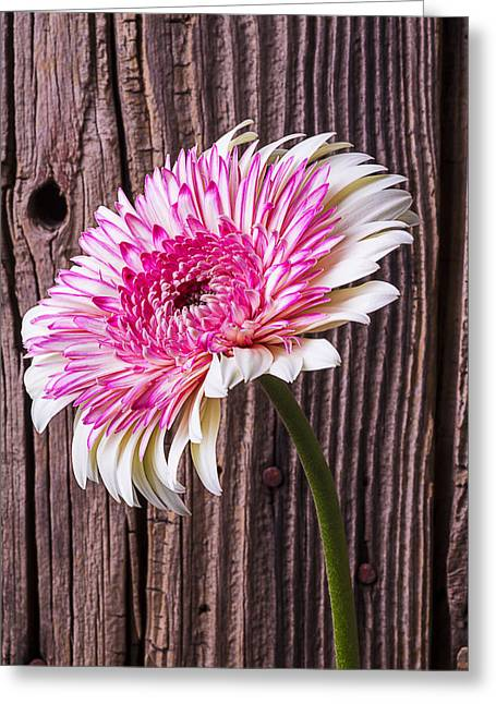 Pink Chrysanthemums Greeting Cards - Pink and White Mum 2 Greeting Card by Garry Gay