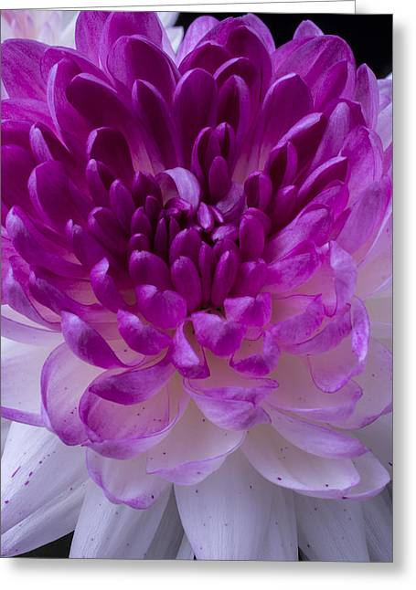 Pink Chrysanthemums Greeting Cards - Pink and white mum close up Greeting Card by Garry Gay