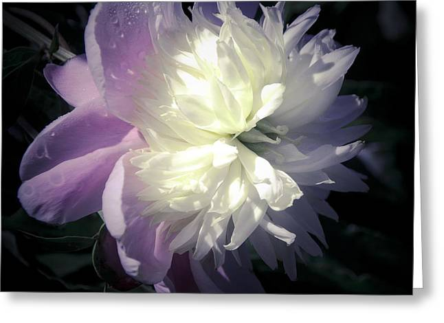 Pink And Lavender Greeting Cards - Pink and White Peony Petals Greeting Card by Julie Palencia