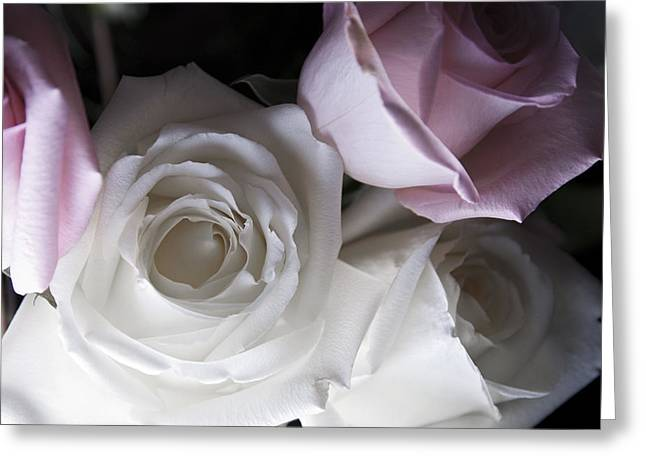 Peaceful Photographs Greeting Cards - Pink and white roses Greeting Card by Jennifer Lyon