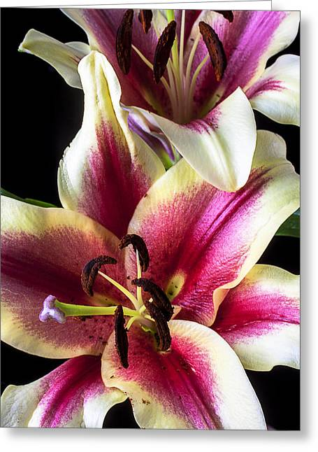 Stamen Greeting Cards - Pink and white tiger lily Greeting Card by Garry Gay
