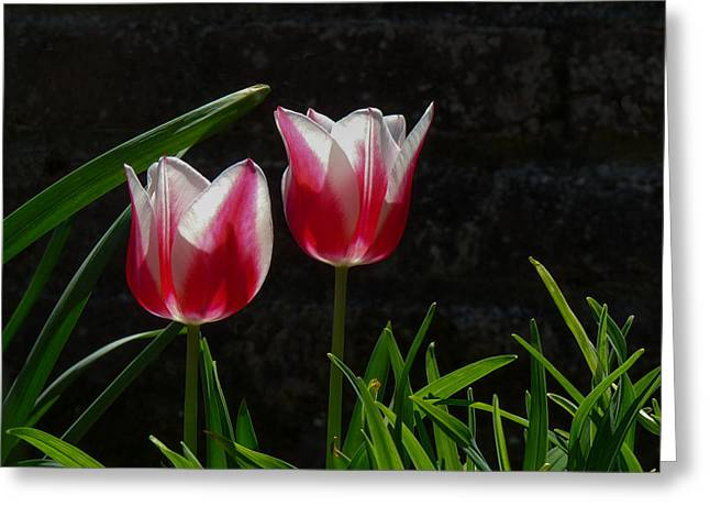 Cheekwood Greeting Cards - Pink and White Tulip Greeting Card by Paula Ponath