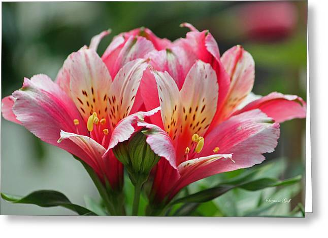 Alstroemeria Greeting Cards - Pink and Yellow Alstroemeria Greeting Card by Suzanne Gaff