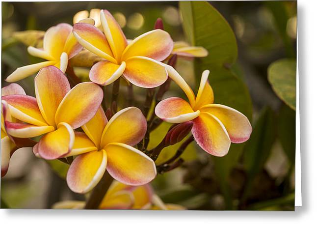 Subtropical Greeting Cards - Pink and Yellow Plumeria 2 Greeting Card by Brian Harig