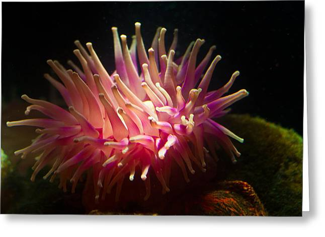 Coldblooded Greeting Cards - Pink anemone Greeting Card by Eti Reid