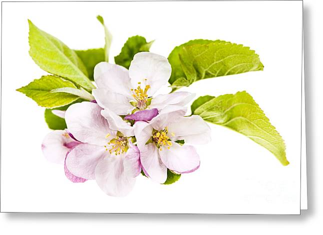 Orchard Greeting Cards - Pink apple blossoms Greeting Card by Elena Elisseeva