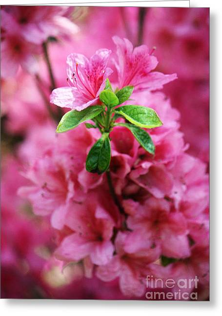 Pink Flower Prints Greeting Cards - Pink Azaleas Greeting Card by Nishanth Gopinathan