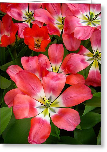 Geobob Greeting Cards - Pink Beauties that are also Tulips at Keukenhof Gardens Lisse Netherlands Greeting Card by Robert Ford