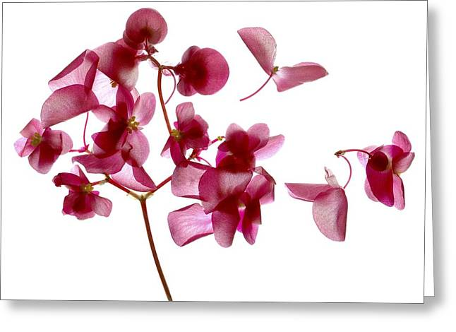 Pink Blossoms Greeting Cards - Pink Begonia I Greeting Card by Julia McLemore
