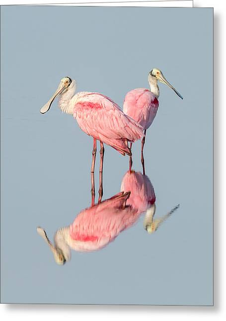 Wildlife Refuge. Greeting Cards - Pink Bird Photograph - Roseate Spoonbills with Reflection Greeting Card by Bill Swindaman