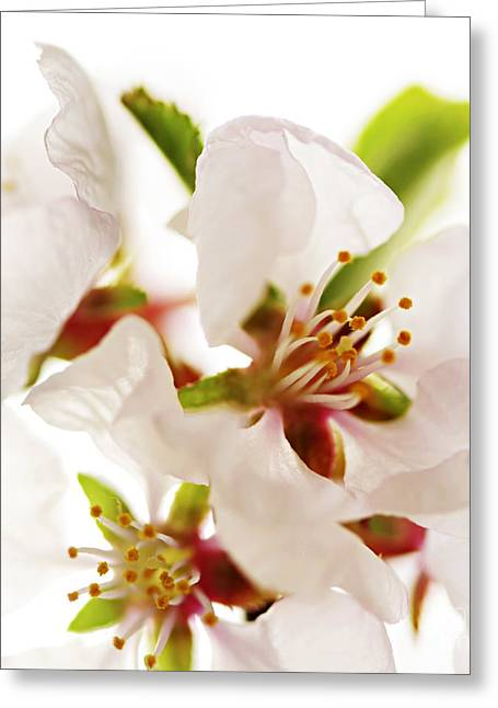 Pink Flower Branch Greeting Cards - Pink blossom Greeting Card by Elena Elisseeva