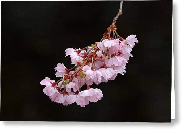 Floral Pictures Greeting Cards - Pink Blossom with Raindrops Greeting Card by Juergen Roth