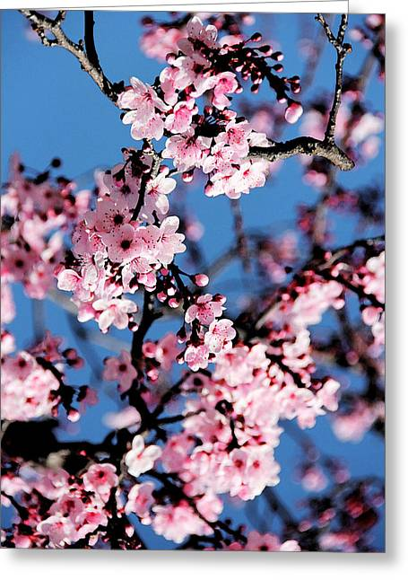 Pink Blossoms On The Tree Greeting Card by Irina Sztukowski