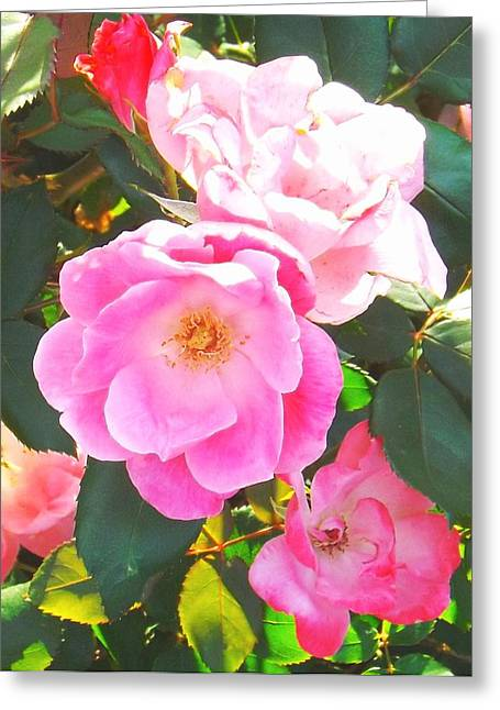 Rose Petals Greeting Cards - Pink Blush  Greeting Card by Michael  Siers