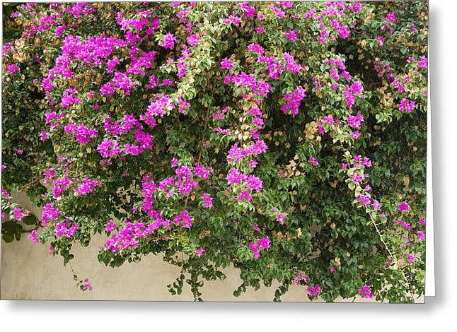 Dalt Greeting Cards - Pink bougainvillea growing on wall Greeting Card by Rosemary Calvert