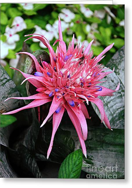 Pink Bromeliad Greeting Card by Andee Design