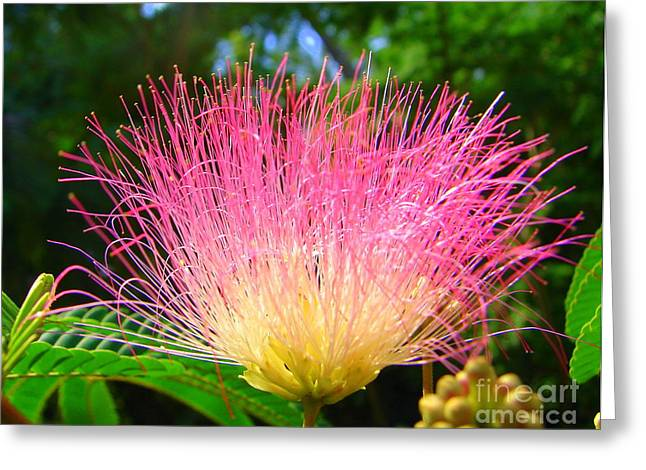 Mimosa Flowers Greeting Cards - Pink Burst Greeting Card by Lew Davis