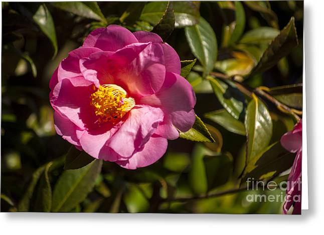 Silverton Greeting Cards - Pink Camellia Blossom Greeting Card by Mandy Judson