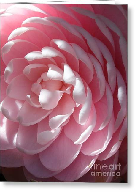 Pink Camellia Closeup Greeting Card by Carol Groenen