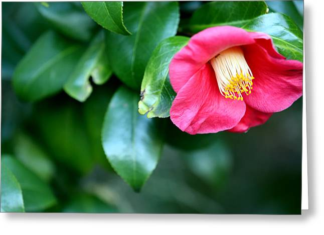 Gatlinburg Tennessee Greeting Cards - Pink Camellia Greeting Card by Ian Alford