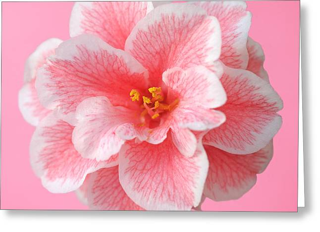 Recently Sold -  - Square Format Greeting Cards - Pink camellia on pink Greeting Card by Rosemary Calvert