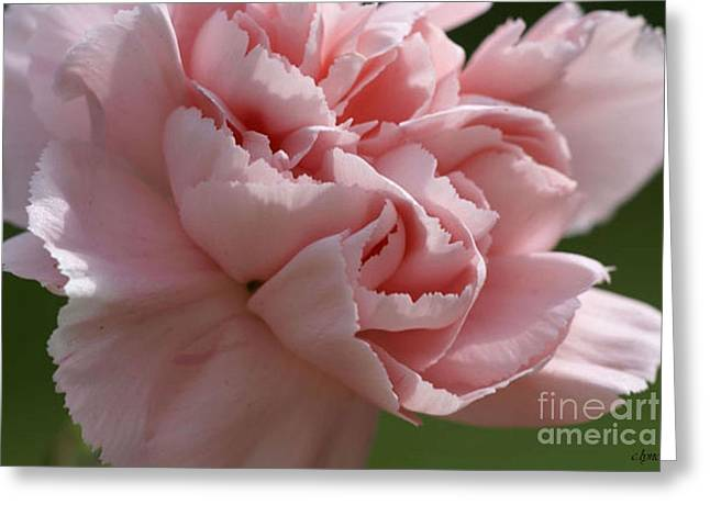 Pink Carnations Greeting Cards - Pink carnation Greeting Card by Carol Lynch