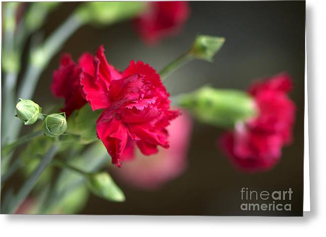Pink Carnations Greeting Cards - Pink Carnation Greeting Card by Sharon  Talson